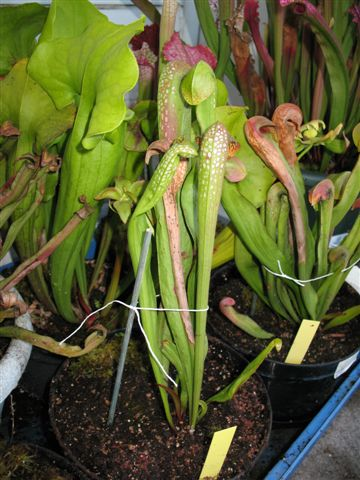 Sarracenia minor Okefenokeensis Giant IMG 1112