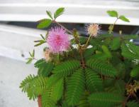 Mimosa pudica - Mimosa pudique