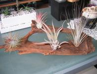 Tillandsia sp